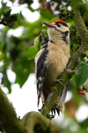 Great Spotted Woodpecker juv.| Grote Bonte Specht (Den Haag)