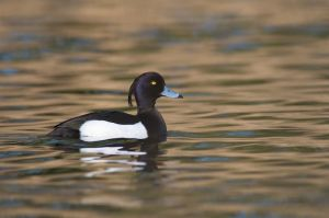 Tufted Duck | Kuifeend (Den Haag)