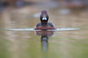 Ferruginous Duck| Witoogeend (Alphen a/d Rijn)