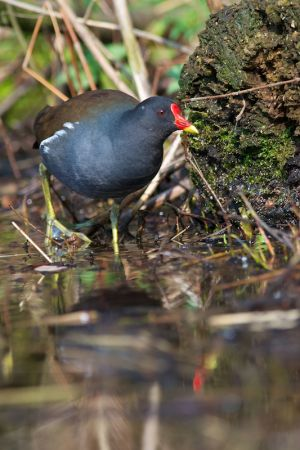 Common Moorhen | Waterhoen (Den Haag)