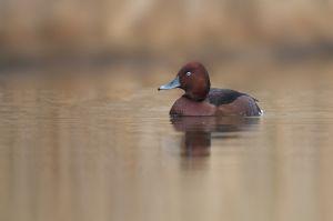 Ferruginous Duck | Witoogeend (Alphen a/d Rijn)
