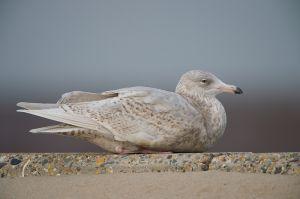 Glaucous Gull | Grote Burgemeester (Scheveningen)