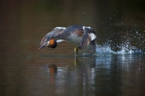 Great Crested Grebe | Fuut (Den Haag)