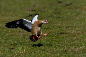 Egyptian Goose | Nijlgans (Reeuwijk)