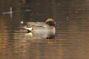 Common Teal | Wintertaling (Warmond)