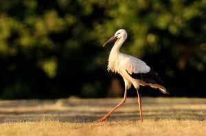 White Stork | Ooievaar (Den Haag)