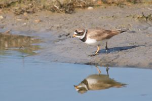 Common Ringed Plover | Bontbekplevier (Texel)