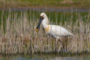 Eurasian Spoonbill | Lepelaar (Texel)