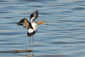 Black-tailed Godwit | Grutto (Texel)