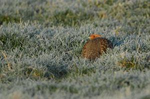 Grey Partridge | Patrijs (Zeeland)