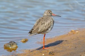 Common Redshank | Tureluur (Texel)