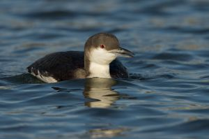 Black-throated Loon | Parelduiker (Stellendam)