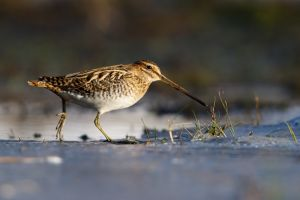 Common Snipe | Watersnip (Wassenaar)