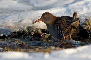 Water Rail | Waterral (Wassenaar)
