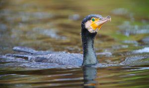 Great Cormorant | Aalscholver (Den Haag)
