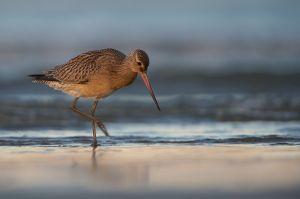 Bar-tailed Godwit | Rosse Grutto (IJmuiden)