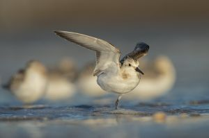 Sanderling | Drieteenstrandloper (IJmuiden)