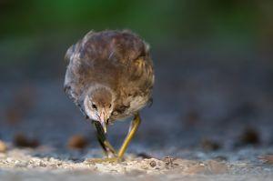 Common Moorhen   Waterhoen juv. (Den Haag)