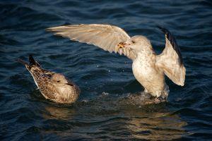 Herring Gull | Zilvermeeuw (Scheveningen)