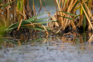 Common Snipe | Watersnip (Warmond)