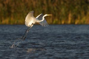 Western Great Egret | Grote Zilverreiger (Leidschendam)