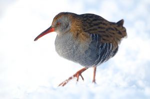 Water Rail | Waterral (Zuid-Holland)