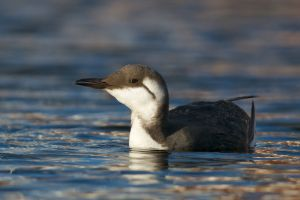 Common Guillemot | Zeekoet (Scheveningen)