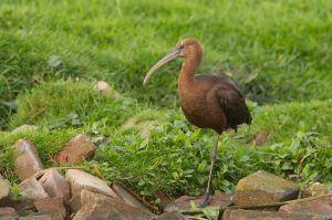 Glossy Ibis | Zwarte Ibis (Valkenburg ZH)