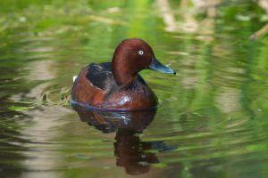 Ferruginous Duck | Witoogeend (Den Haag)