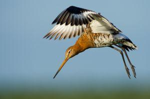 Black-tailed Godwit | Grutto (Nijkerk)