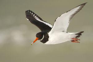 Eurasian Oystercatcher | Scholekster (Zeeland)
