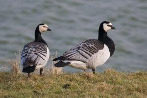 Barnacle Goose | Brandgans (Zeeland)