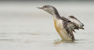 Red-throated Loon | Roodkeelduiker (Scheveningen)