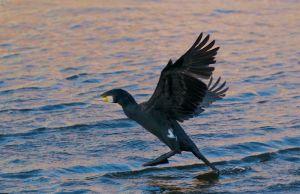 Great Cormorant | Aalscholver