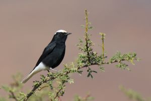 Whitecrowned Wheatear