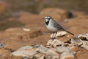 White (Moroccan) Wagtail