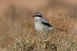 Southern Grey Shrike / Desert Shrike
