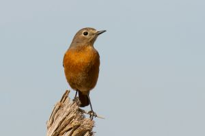 Moussier's Redstart - female