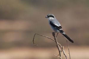 Greater Grey Shrike / Darker Desert Shrike