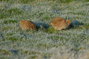 Grey Partridge | Patrijs