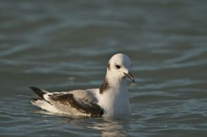 Black-legged Kittiwake | Drieteenmeeuw