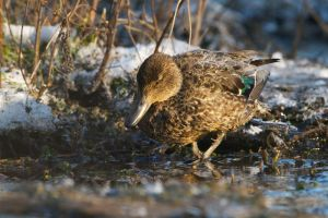 Common Teal (female) | Wintertaling